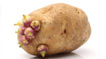 Patateslerin filizlenmesini önlemek için